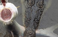 Ngư dân hốt hoảng khi thấy một con cá sấu khổng lồ cắn câu
