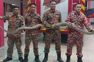 Hoảng hồn phát hiện rắn hổ mang dài 4 mét trong nhà