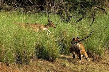 Cận cảnh cuộc truy sát kinh hoàng của hổ cái và hươu sao