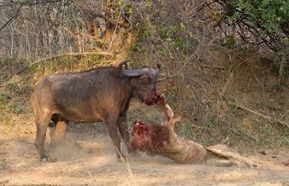 Kinh hoàng trận chiến dai dẳng, đẫm máu giữa trâu rừng và sư tử đói