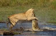 Cận cảnh cuộc chiến kinh hoàng, khốc liệt giữa cá sấu khổng lồ và bầy sư tử đói