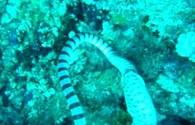 Hãi hùng rắn biển bất ngờ bị tê liệt vì cố nuốt chửng lươn