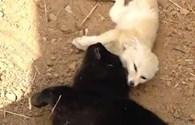 Kỳ lạ chú mèo quấn quýt chơi đùa cùng cáo
