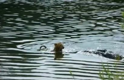 Rơi nước mắt cảnh sư tử mẹ đau đớn tìm cách cứu sư tử con khỏi hàm cá sấu