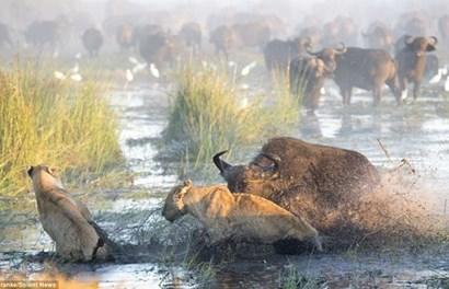 Hãi hùng trâu rừng húc bay sư tử đói cứu nghé con thoát chết ngoạn mục