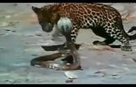 Kinh hoàng cuộc chiến căng thẳng giữa hổ mang chúa và báo đói