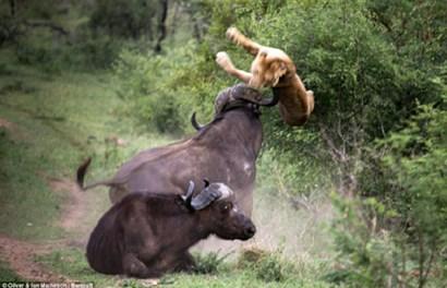 Kinh hãi trâu rừng dũng mãnh húc bay 2 sư tử đói cứu bạn thoát chết