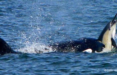 """Ớn lạnh khoảnh khắc cá heo đau đớn bị cá voi sát thủ xẻ thịt """"nhanh như cắt"""""""