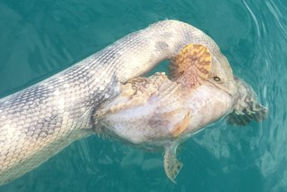 Hãi hùng cuộc chiến dai dẳng của cá mặt quỷ và rắn biển