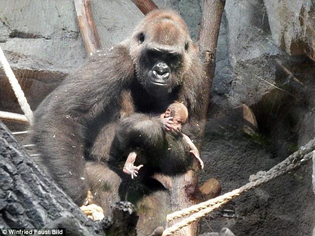 Xúc động hình ảnh khỉ mẹ đau đớn tuyệt vọng trước cái chết của con - Ảnh 1