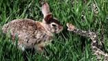 Thỏ con đơn độc cả gan quyết đấu với rắn trâu