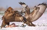 Trận chiến giành mồi căng thẳng của đôi chim ó