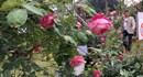 """Sở VHTT """"nhắc nhở"""" BTC về tình trạng dùng hoa giả ở Lễ hội hoa hồng"""