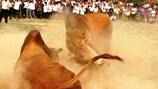 """Cao Bằng: Bò cái thi """"hoa hậu"""", bò đực thi chọi"""