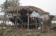 Sét đánh 9 con trâu của một gia đình chết, thiệt hại hàng trăm triệu đồng