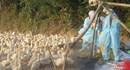 Quảng Ngãi: Phát hiện 382 con vịt nhiễm cúm A/H5N6