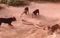 """Hổ mang chúa """"tử nạn"""" trong vòng vây của chó nhà"""