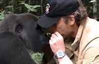 Video: Cuộc hội ngộ xúc động giữa người và khỉ đột sau 10 năm xa cách