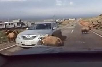 """Cừu húc nhau, ô-tô """"vạ lây"""" - Video"""