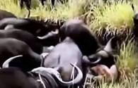 Chưa bao giờ thấy sư tử thảm hại như thế này - Video