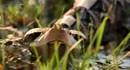 Cuộc phục kích con mồi của rắn hổ lục Gaboon