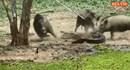 Lợn rừng tấn công khiến cá sấu khiếp sợ