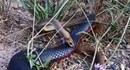 Trận kịch chiến của hai con rắn độc nhất Australia