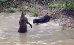 """Chó đen hung hăng tấn công bị kangaroo cho """"uống no nước"""""""