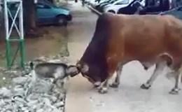 Cuộc chiến không cân sức giữa dê tí hon và bò khổng lồ