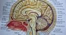 Sử dụng cần sa có ảnh hưởng đến hoạt động của não
