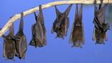 Mỹ: Xuất hiện chủng virus mới ở dơi gây chết người