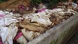 Công ty vứt xác heo chết xuống sông Sài Gòn sai phạm có hệ thống