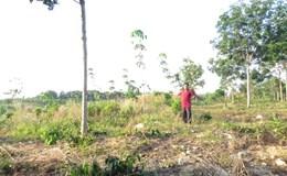 Vụ không trồng caosu vẫn nhận bồi thường tiền tỷ: Thường trực HĐND tỉnh yêu cầu công an làm rõ