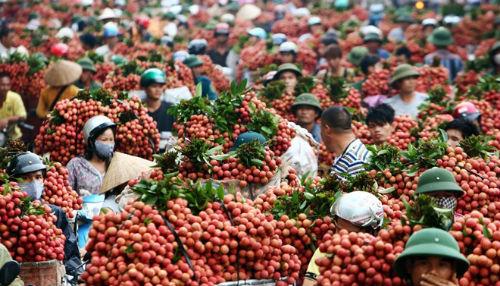 """Hơn 10 năm """"đấu tranh"""", Việt Nam chính thức xuất được 1 tấn quả vải tươi  đầu tiên sang Mỹ"""
