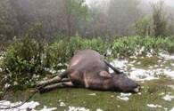 Nghệ An: Đã có 246 con trâu, bò bị chết do giá rét