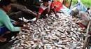 Cá chết hàng loạt trên sông Cái Vừng: Hàng trăm gia đình ngư dân mất Tết