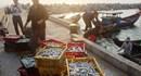 Vụ cá chết trắng biển miền Trung: Mâu thuẫn trong cấp chứng nhận hải sản an toàn