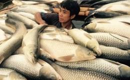Cá chết trên sông Bưởi (Thanh Hoá):  Lợn ăn cá lăn ra chết, người ăn cá đau bụng