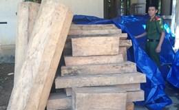 Quảng Nam: 60 cây Pơmu bị tàn phá chỉ trong 1 tháng?