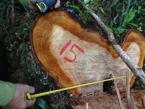 """Quảng Nam: """"Mức độ tàn phá rừng pơmu là """"khủng khiếp"""""""