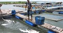 Nước ô nhiễm gây cá chết, ngư dân Vũng Tàu thiệt hại hơn 8 tỷ đồng