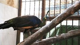 Thảo Cầm Viên cứu được chim Công quý hiếm nhóm 1B