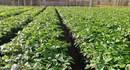 Hơn 15 triệu cây cà phê giống phân phối tới nông dân trồng cà phê khu vực Tây Nguyên
