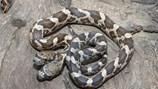 Đáng sợ con rắn dị dạng có hai đầu tìm cách... cắn lẫn nhau