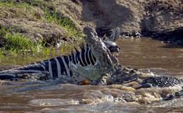 Ngựa vằn thoát hiểm ngoạn mục khỏi hàm răng của cá sấu đói