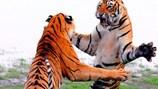 Thú vị màn quyết đấu võ kungfu giữa hai con hổ dữ
