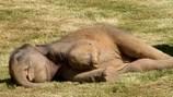 Tức cười hình ảnh voi con ngủ say như chết, gọi mãi không dậy