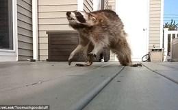 Đứng tim khoảnh khắc gấu mèo cùng đường tức giận lao vào tấn công người