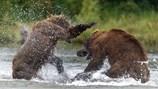 Kịch tính màn quyết chiến sinh tử giành chỗ săn cá hồi của hai con gấu lớn