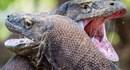 Cuộc quyết chiến, phun nọc độc đáng sợ giữa hai con rồng komodo